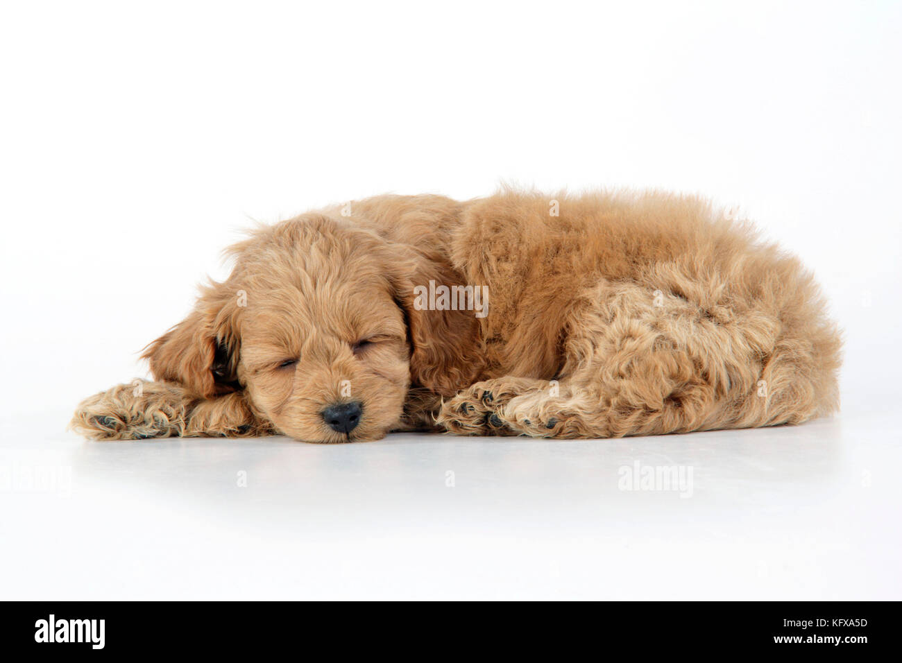 Dog. Cockerpoo puppy (7 weeks old) lying down - Stock Image