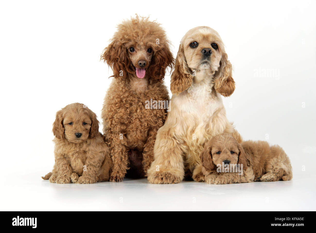 Dog. Cockerpoo puppies (7 weeks old) with parents - Stock Image