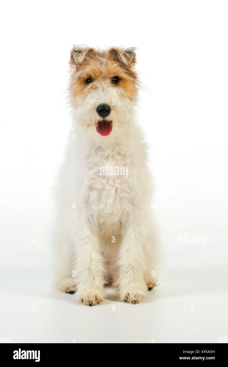 Wire Fox Terriers Stock Photos & Wire Fox Terriers Stock Images - Alamy