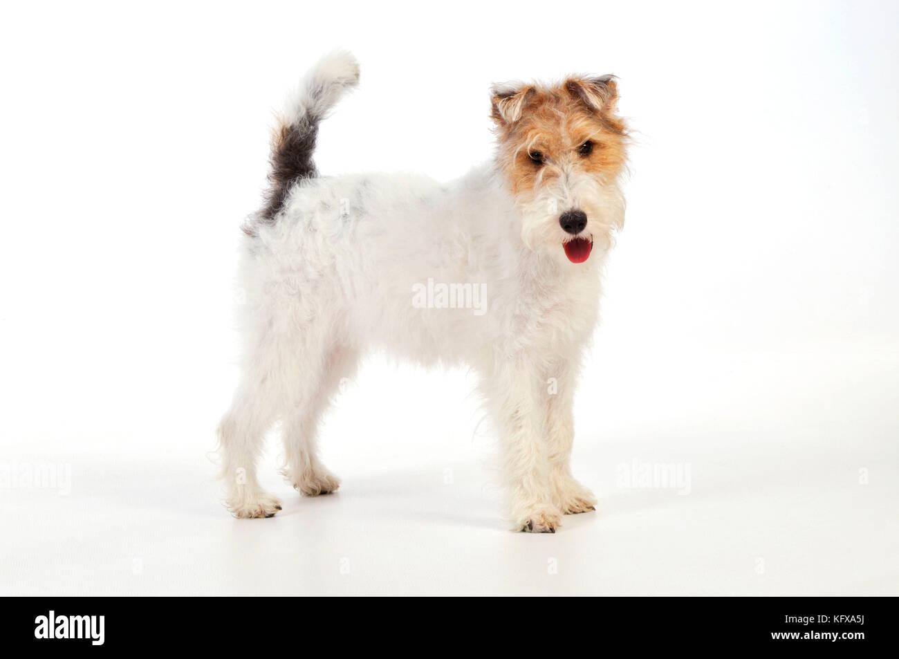 Dog. Wire Fox Terrier Stock Photo: 164691902 - Alamy