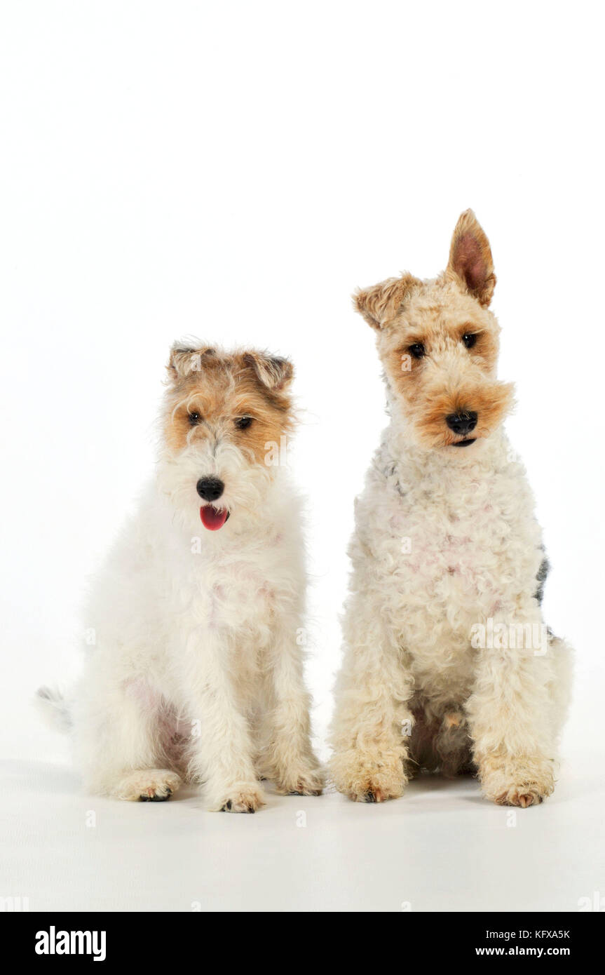 Dog. Wire Fox Terriers - Stock Image