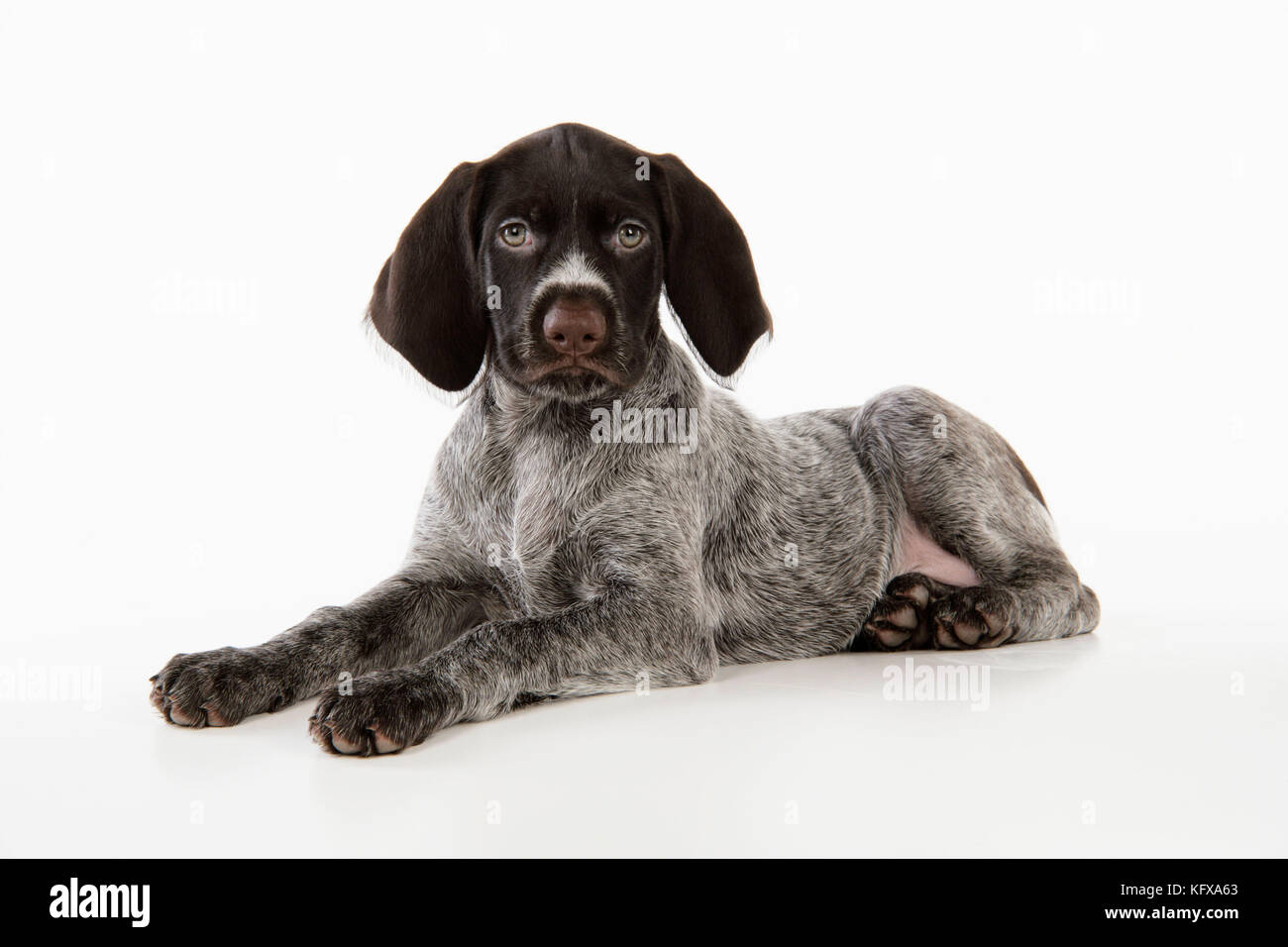 German Wire Haired Pointers Stock Photos & German Wire Haired ...