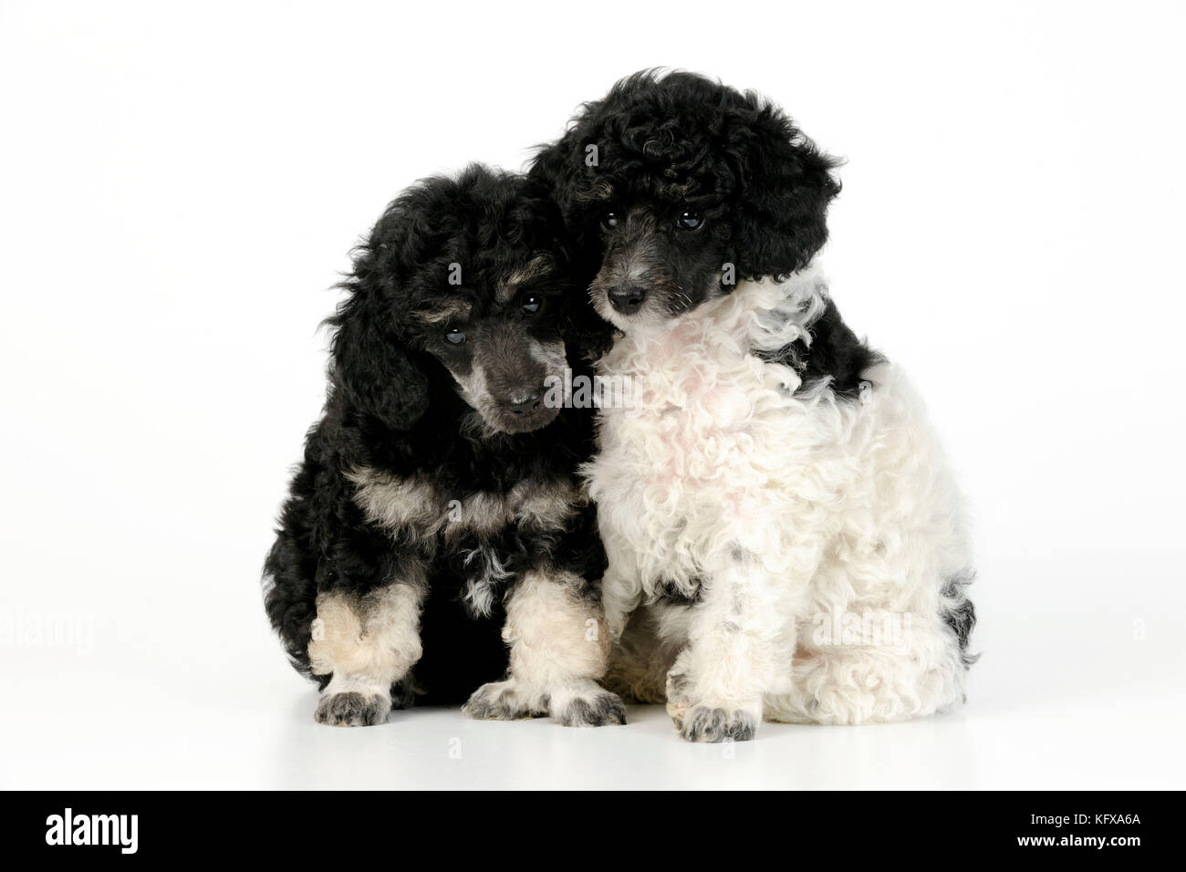 Dog. Toy poodles (party and phantom colour, 9 weeks old) - Stock Image