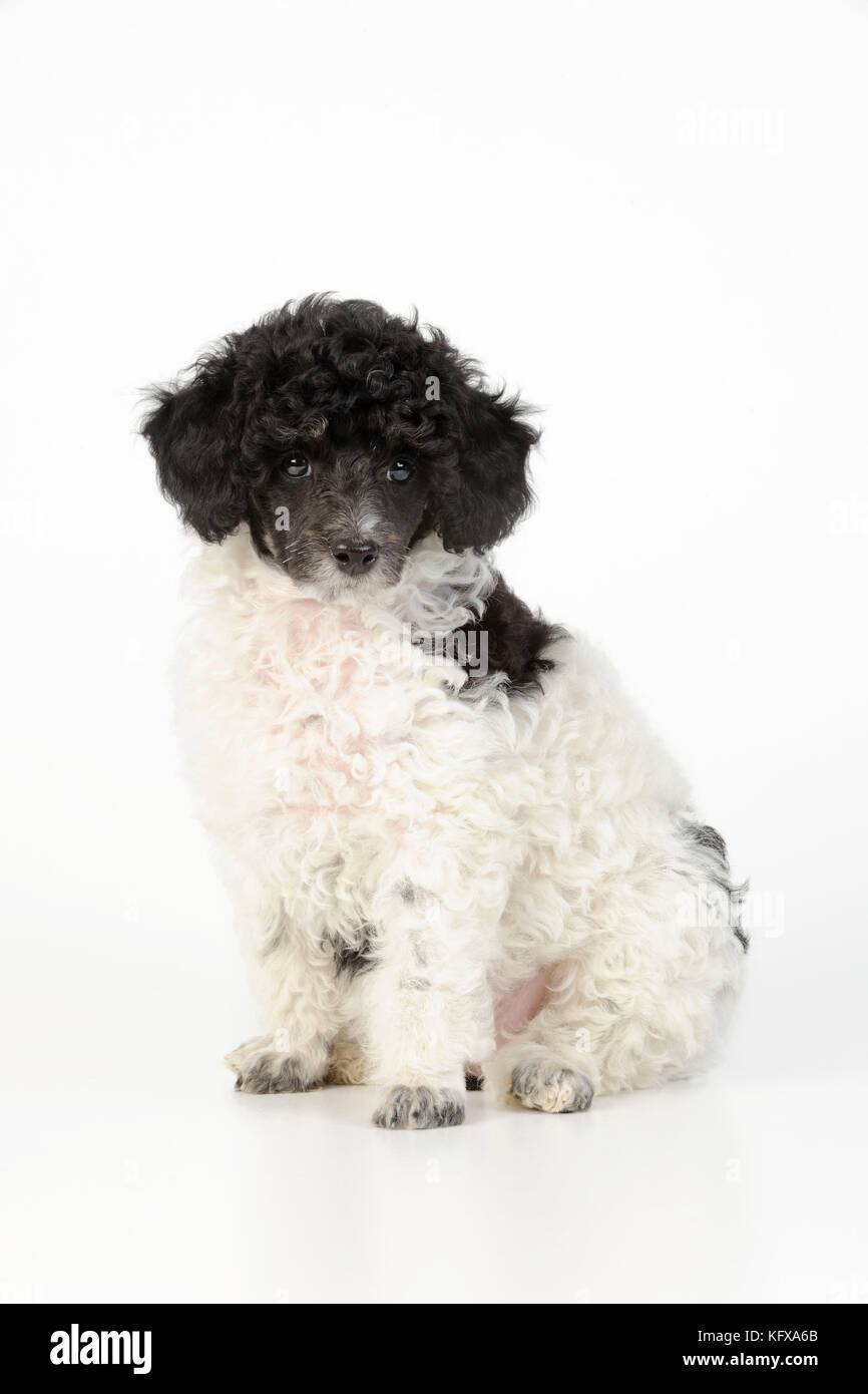 Dog. Toy poodles (party colour, 9 weeks old) - Stock Image