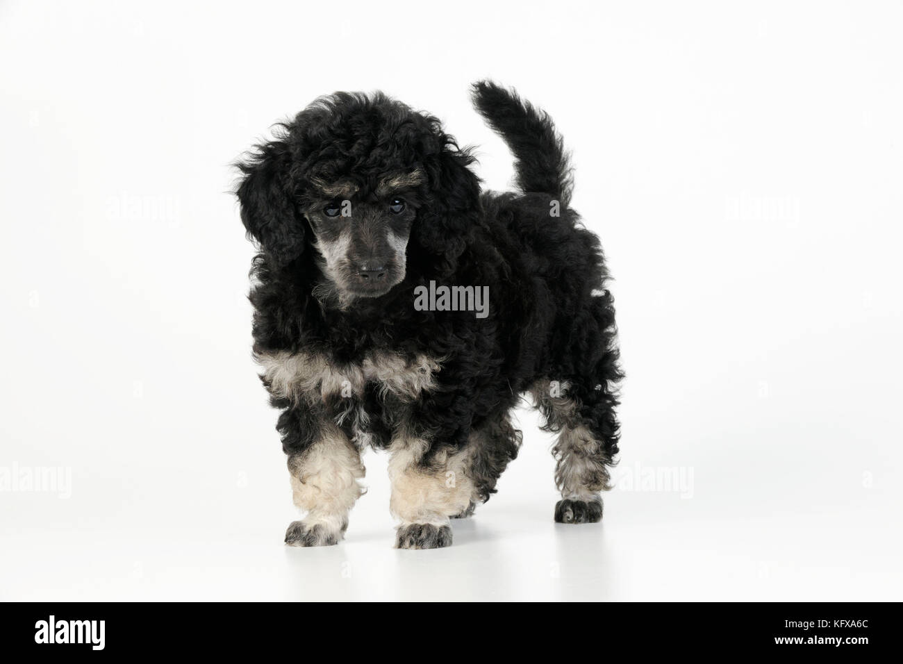 Dog. Toy poodles (phantom colour, 9 weeks old) - Stock Image