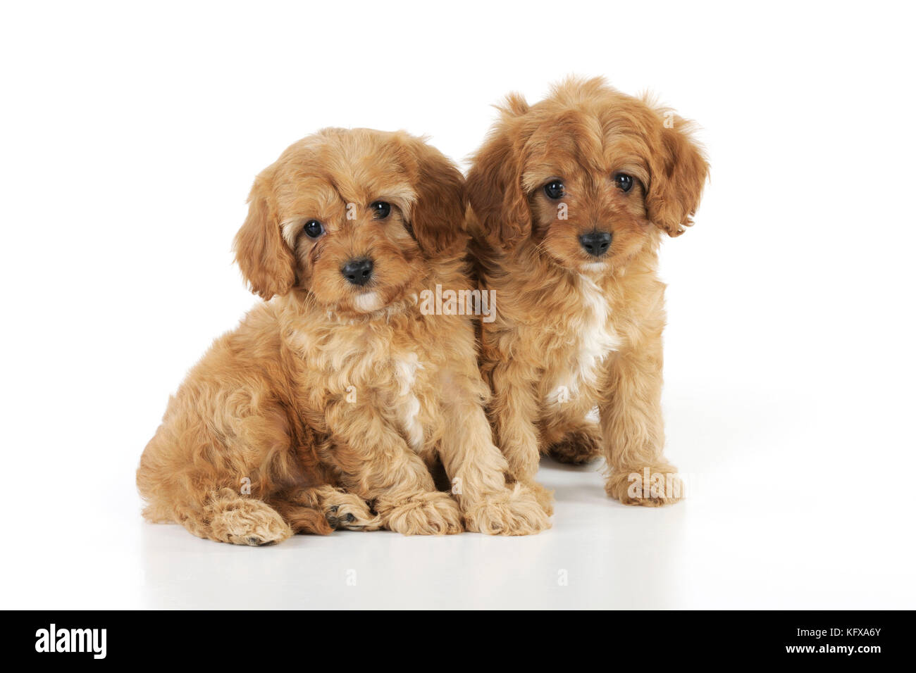 DOG. Cockerpoo puppies (Poodle X Cocker Spaniel ) 7 wks old Stock Photo