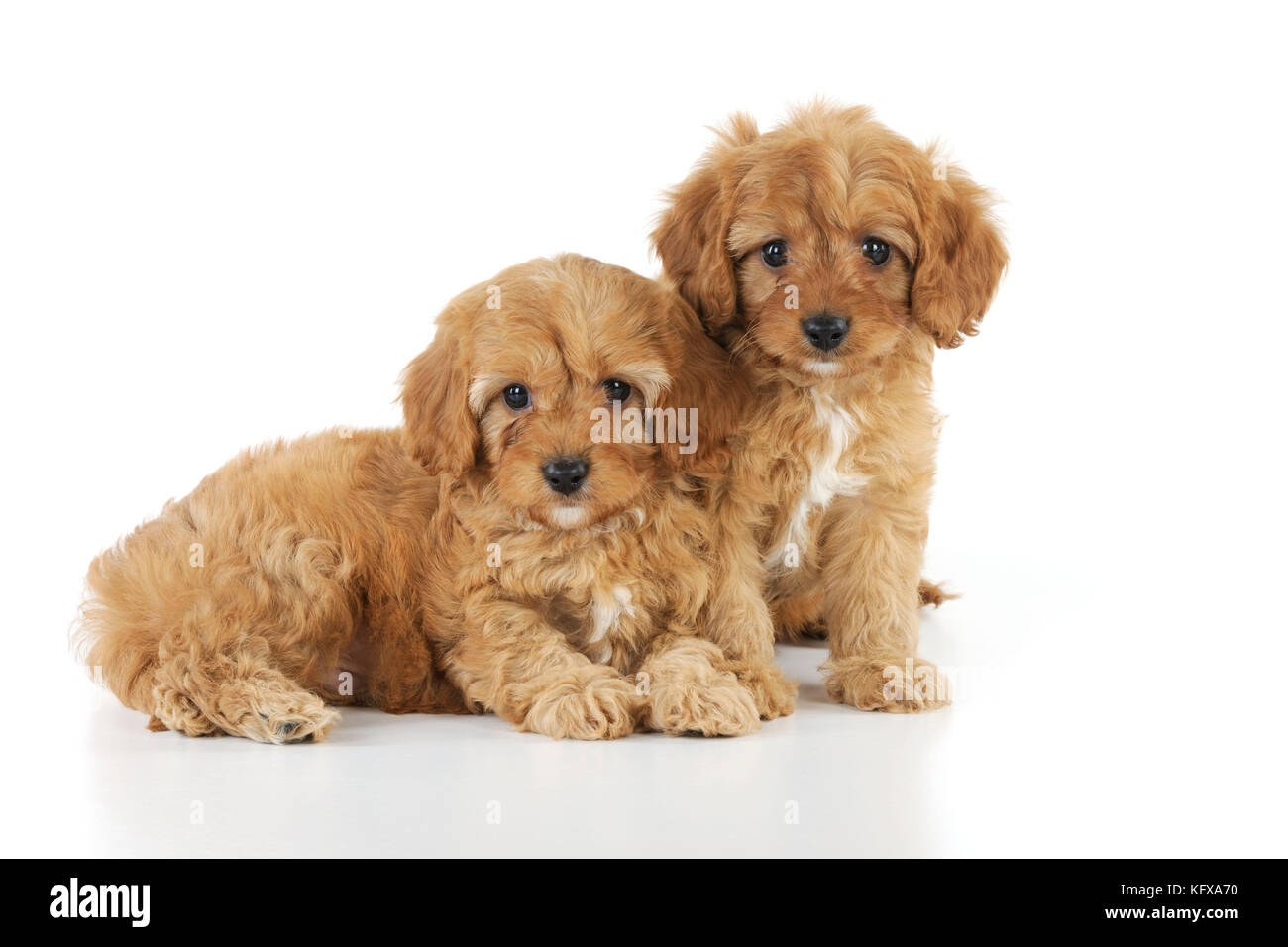 DOG. Cockerpoo puppies (Poodle X Cocker Spaniel ) 7 wks old - Stock Image