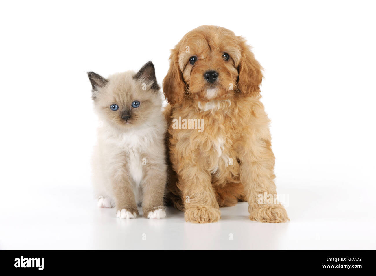 DOG. Cockerpoo puppy (Poodle X Cocker Spaniel 7wks old) with a kitten - Stock Image