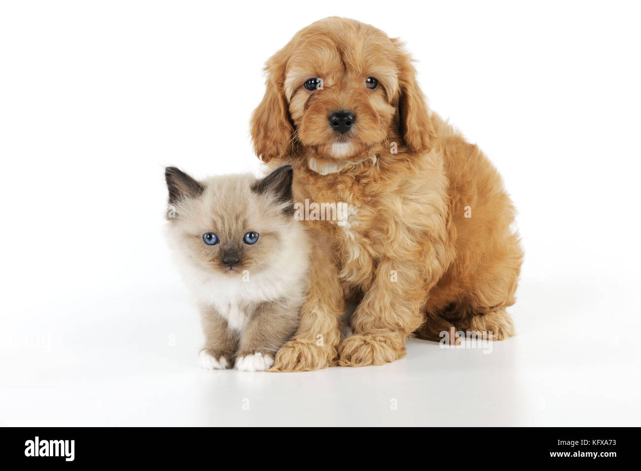 DOG. Cockerpoo puppy (Poodle X Cocker Spaniel 7wks old) with a kitten Stock Photo