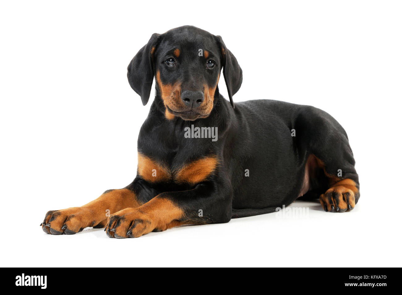 Dog. Dobermann puppy - Stock Image