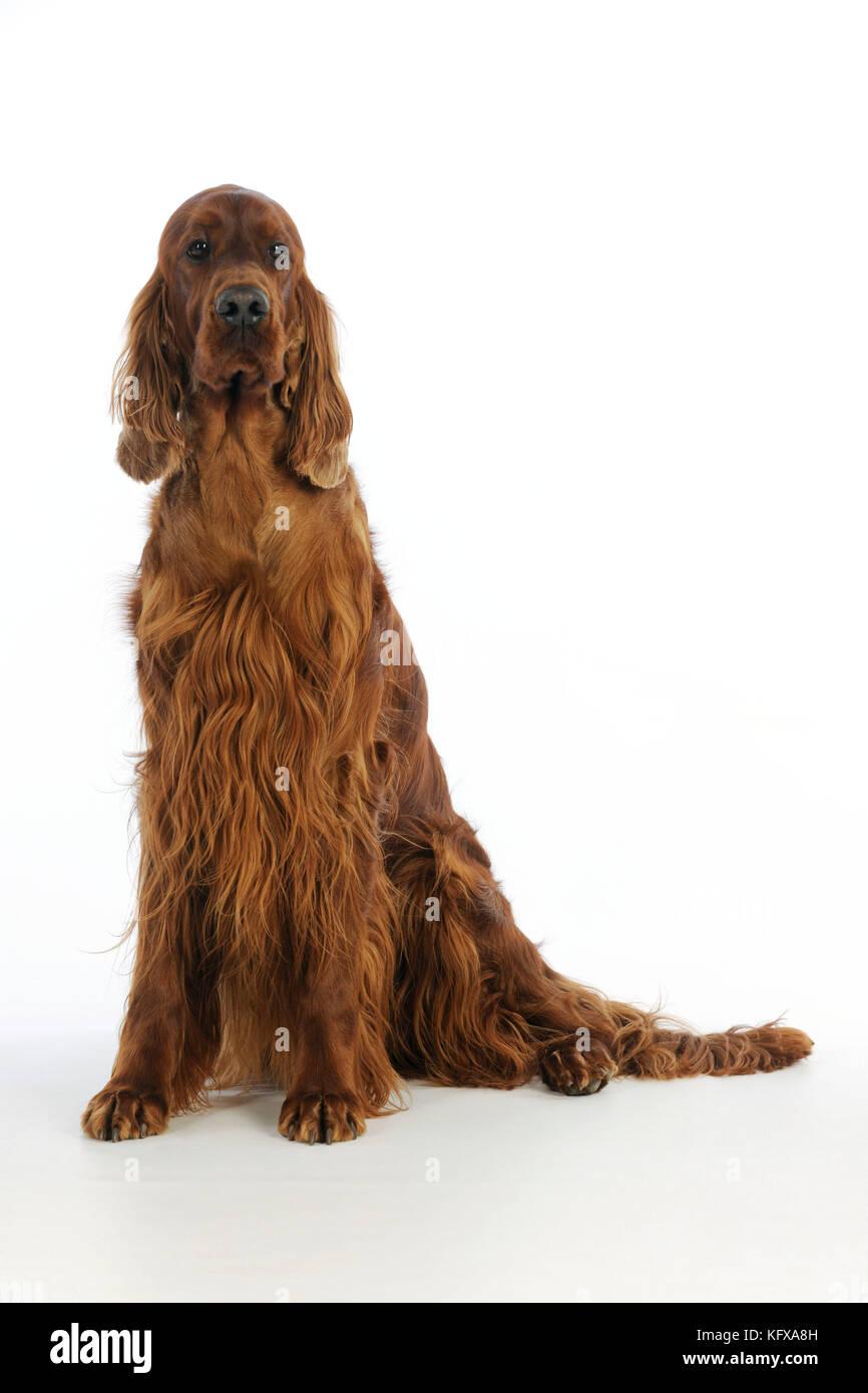 DOG. Irish setter sitting - Stock Image