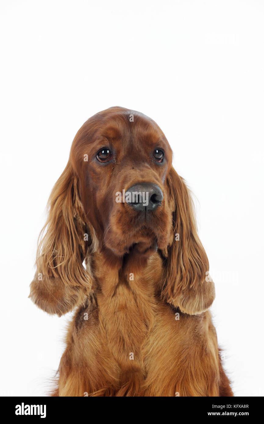 DOG. Irish setter head shot - Stock Image
