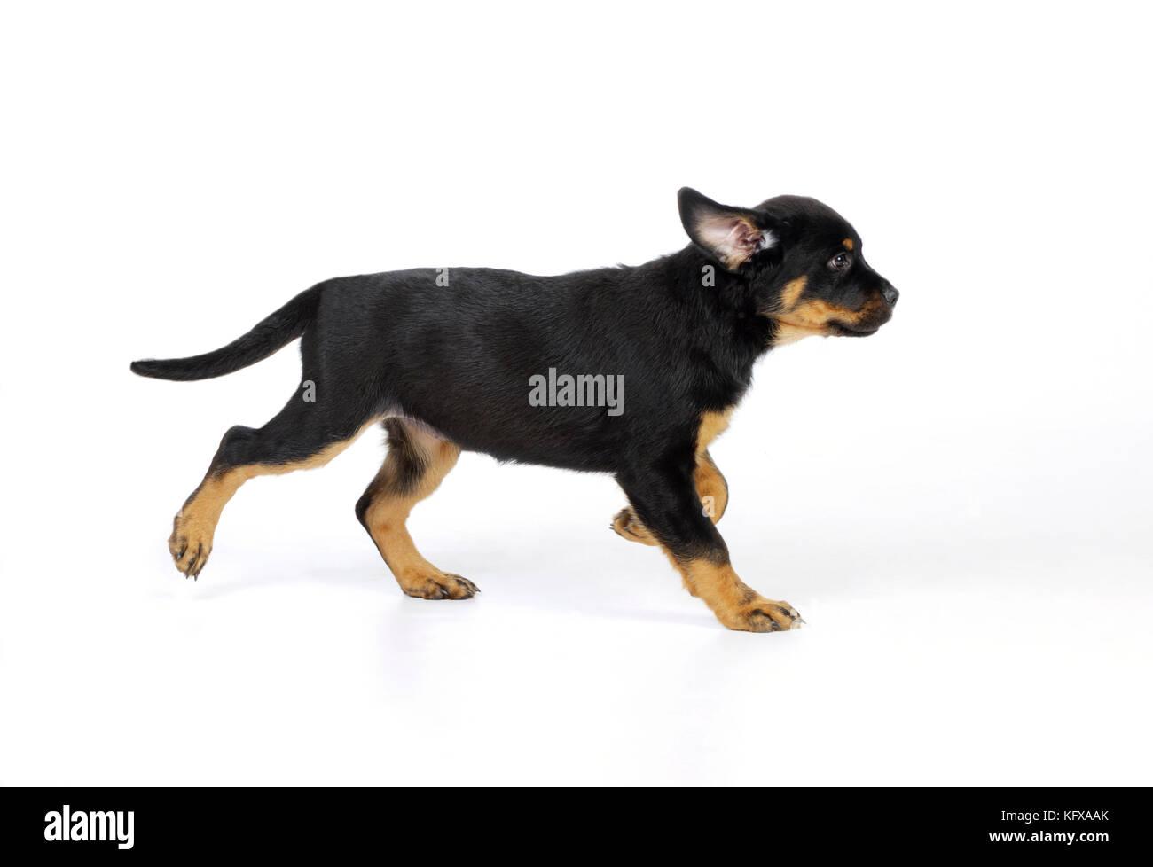 Rottweiler Puppy Stock Photos & Rottweiler Puppy Stock