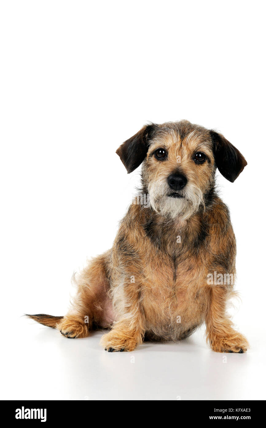 Wire Haired Dachshunds Stock Photos & Wire Haired Dachshunds Stock ...