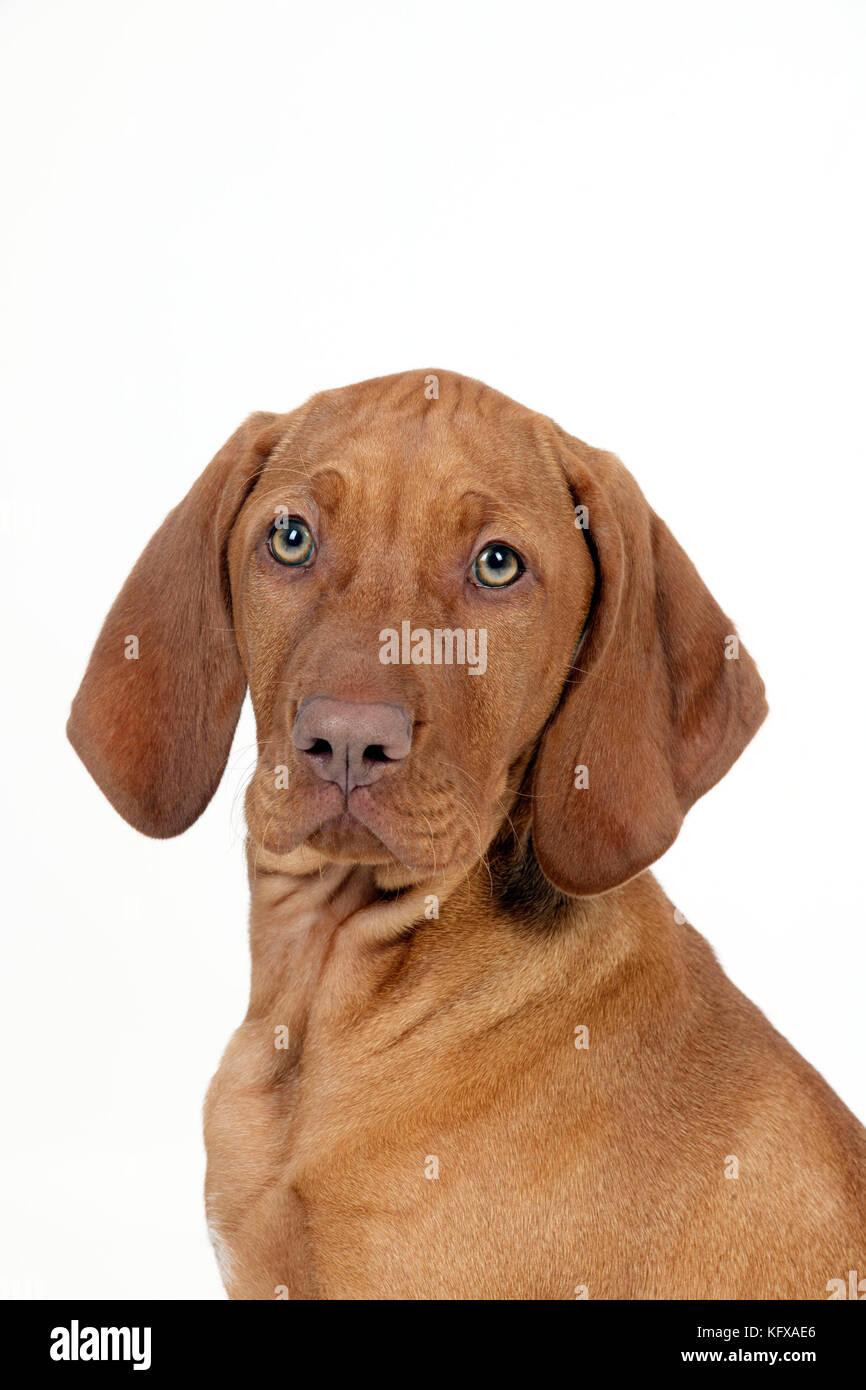 DOG - Hungarian vizsla puppy (head shot) - Stock Image