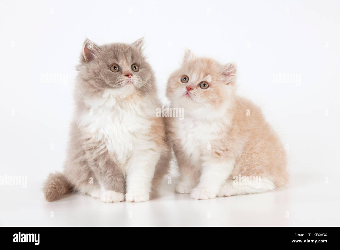 CAT - British longhaired cats. sitting together. Stock Photo