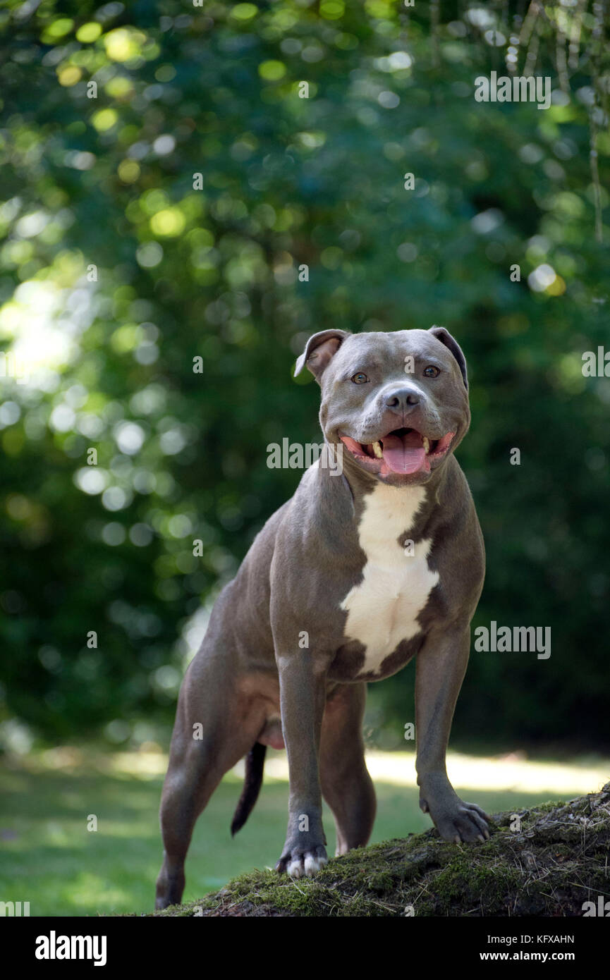 Dog - Staffordshire Bull Terrier on a log - Stock Image