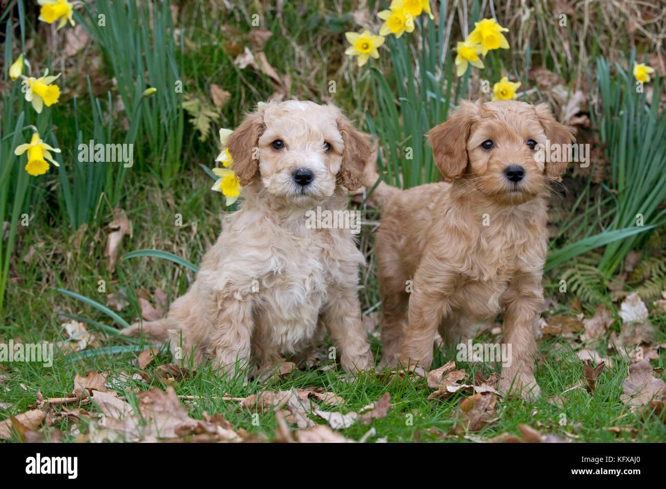 Dog - Cockerpoo 7 week old puppies - Stock Image
