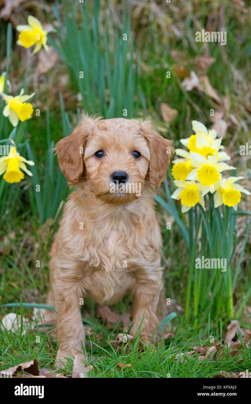 Dog - Cockerpoo 7 week old puppy - Stock Image