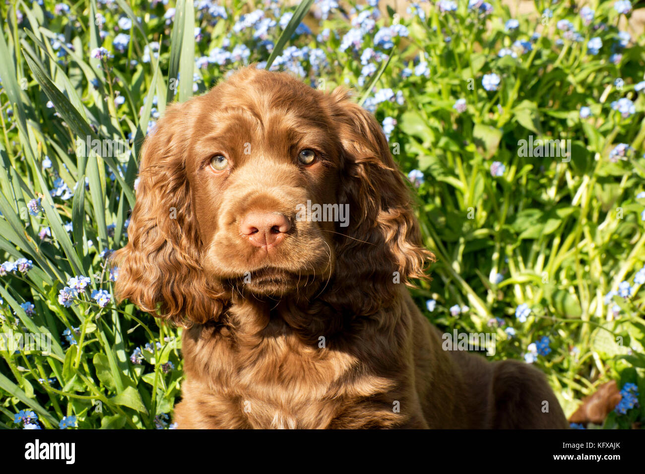 Dog 14 Week Old Sussex Spaniel Puppy In A Flower Bed Stock Photo