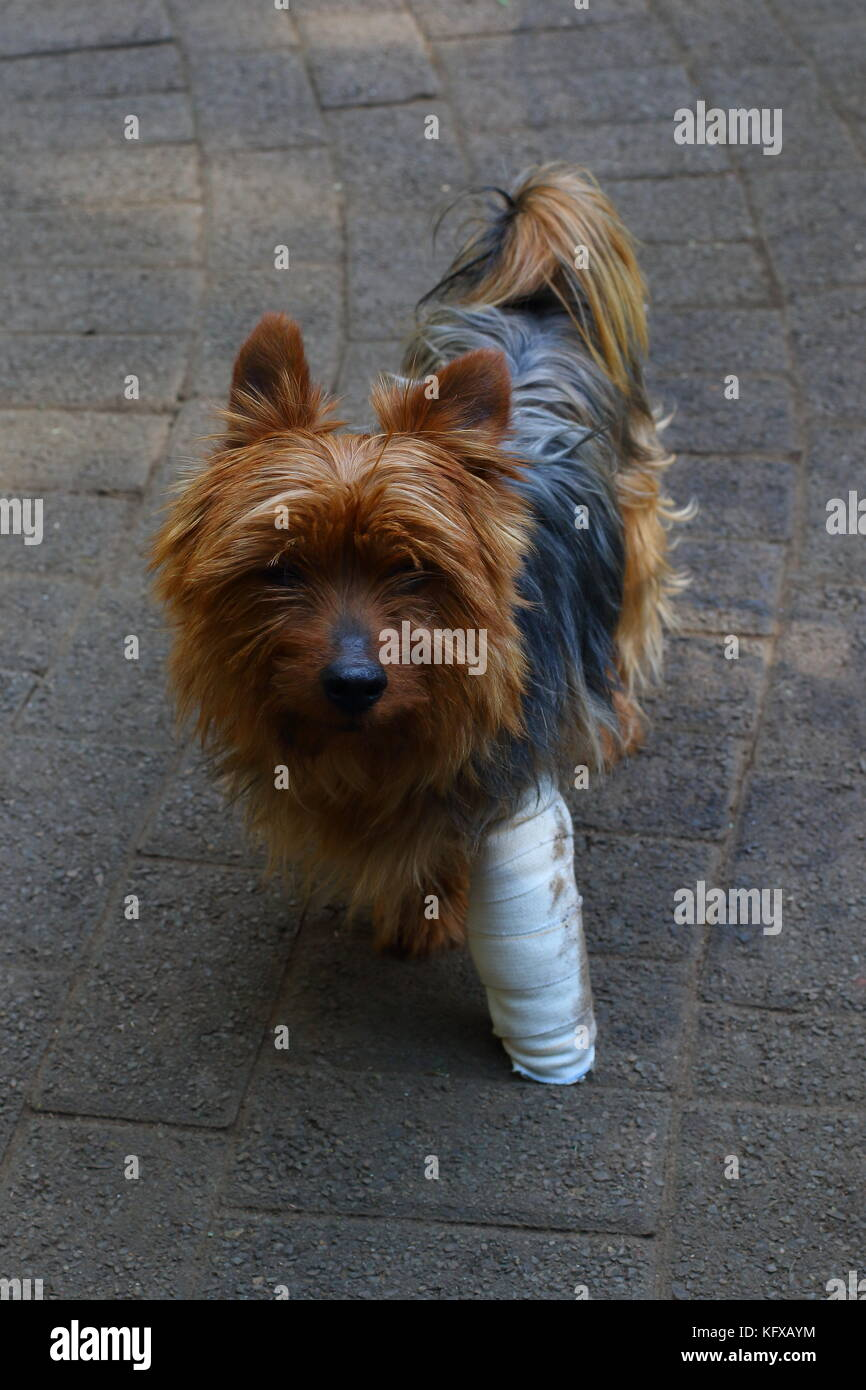 Small brown dog with a bandaged injured leg in portrait format with copy space - Stock Image