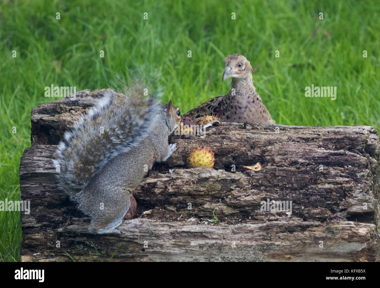 Grey squirrel stand off with female pheasant - Stock Image