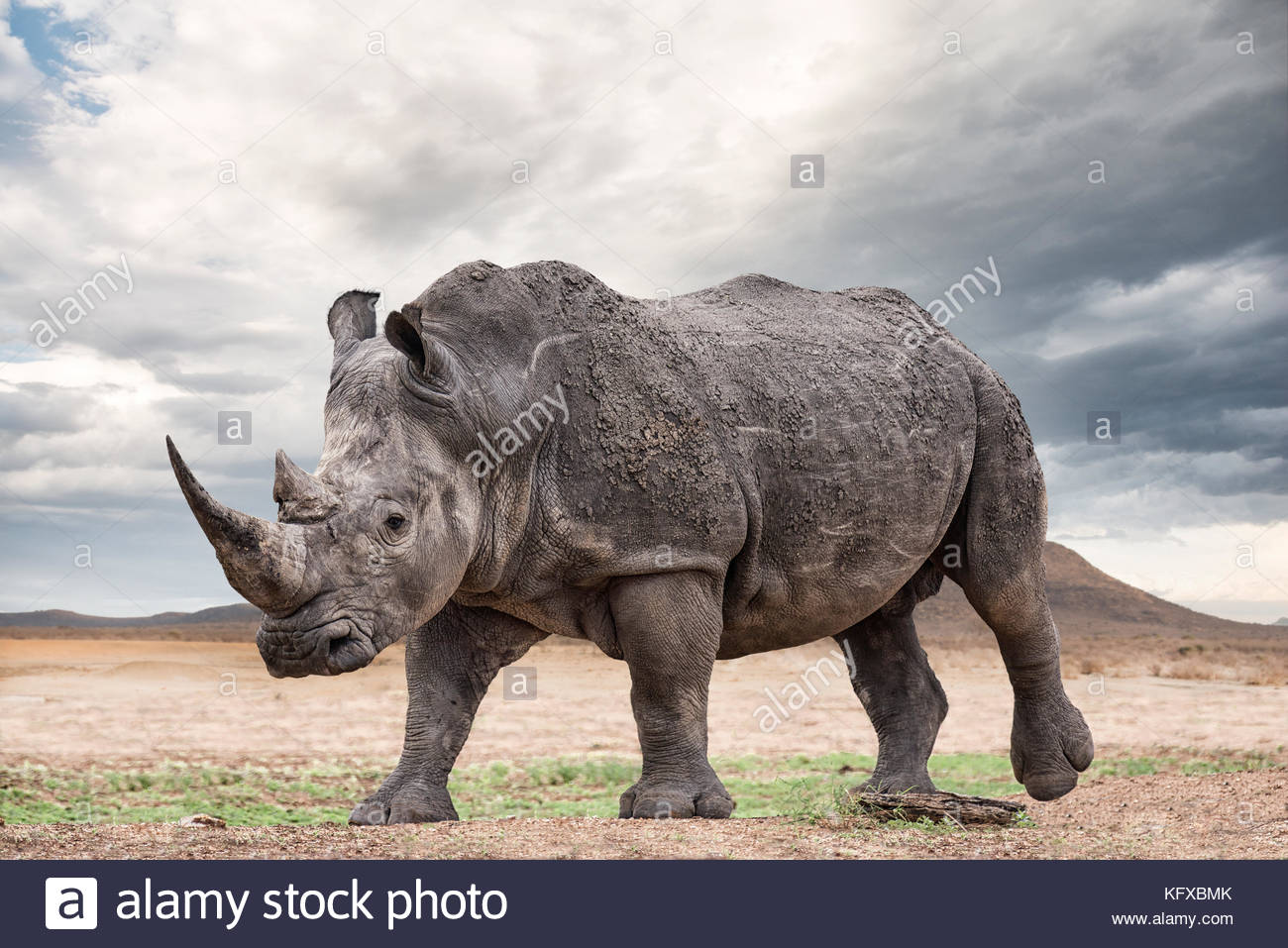 A white rhinoceros, Madikwe Game Reserve - Stock Image