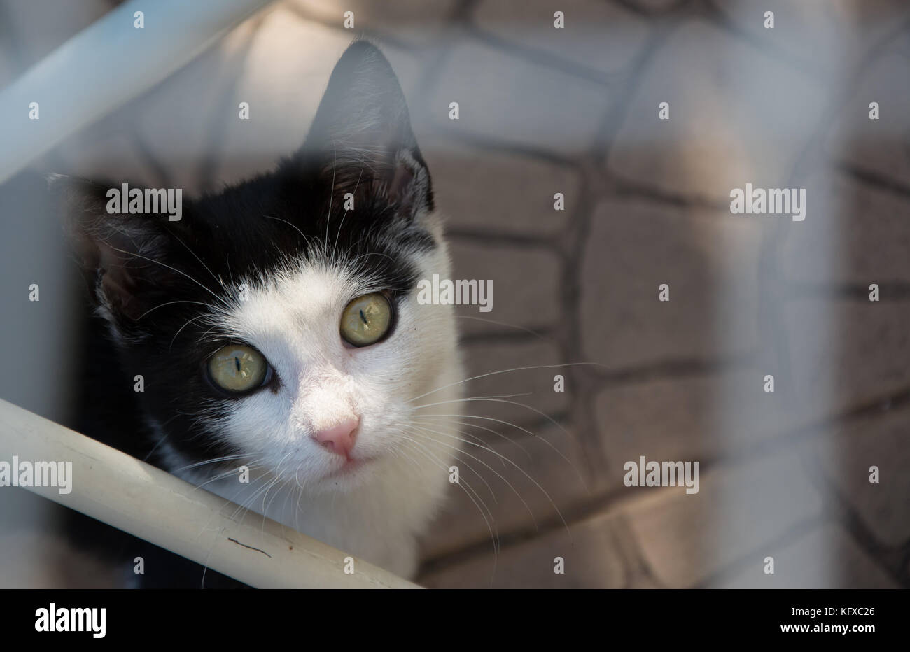 Closeup of a face of young black and white kitten - looking up in the camera - Stock Image