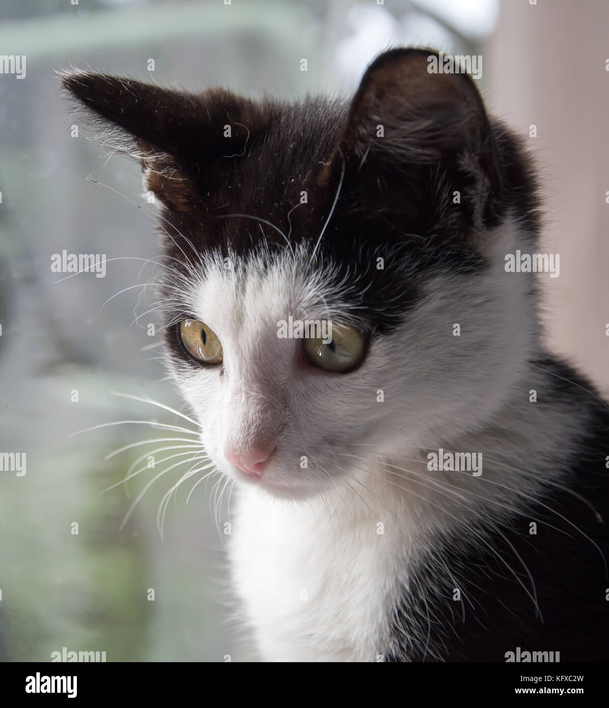Closeup of a face of young black and white kitten - looking down - Stock Image