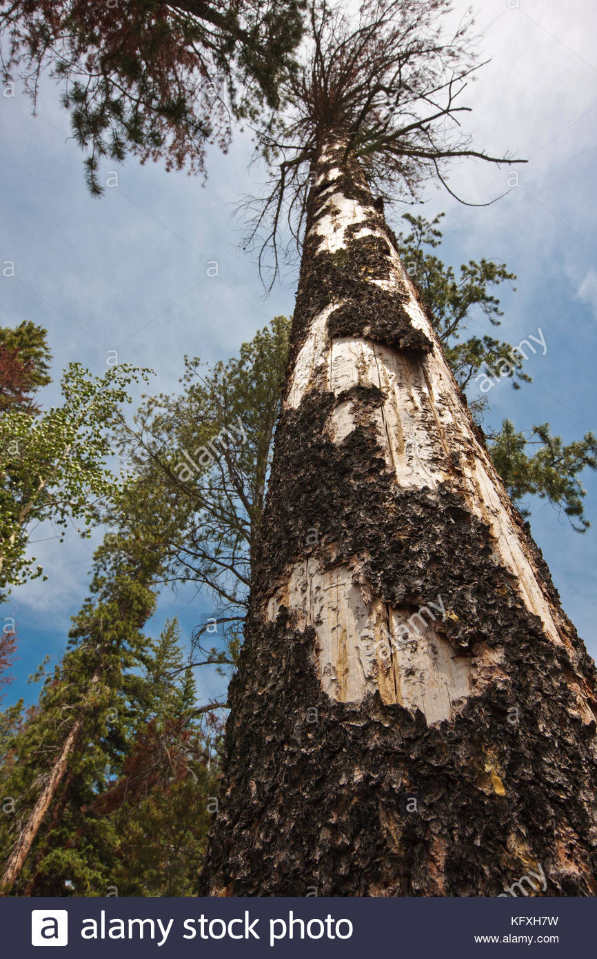 Standing dead lodgepole pine, as a result of mountain pine beetle (mpb)infestation in Rocky Mountain National Park, - Stock Image
