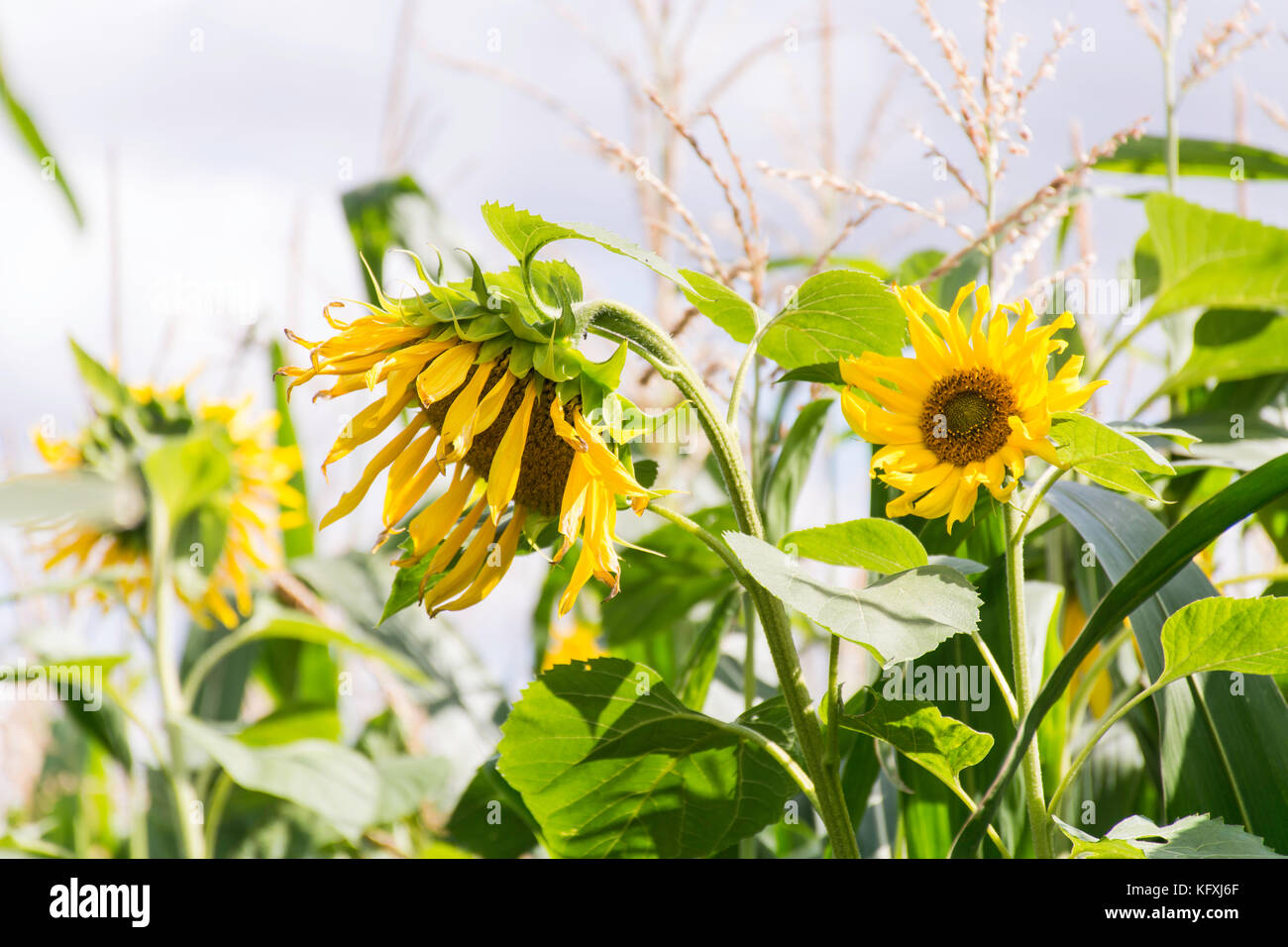 sunflowers in maize - Stock Image
