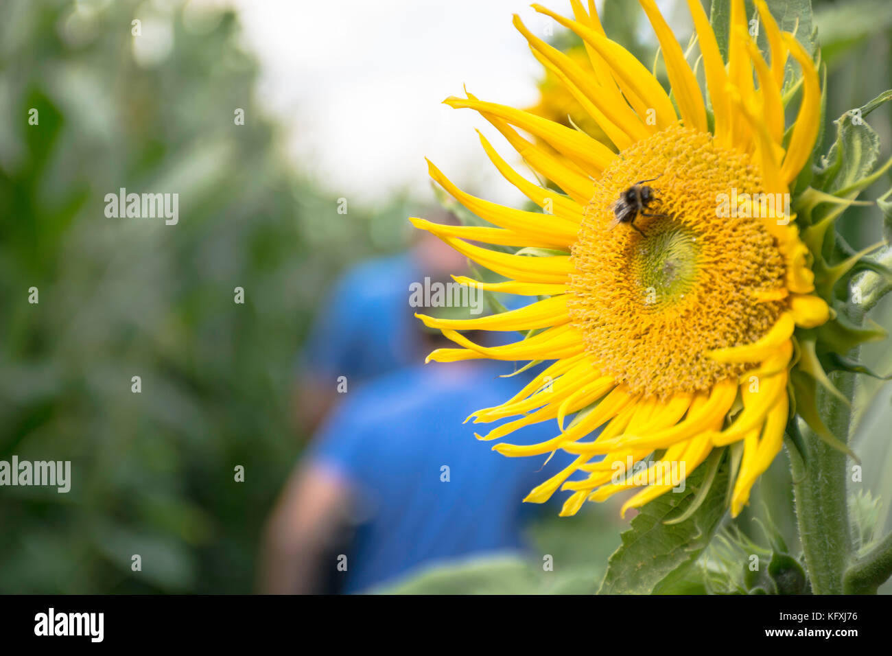 bumble bee on a sunflower - Stock Image
