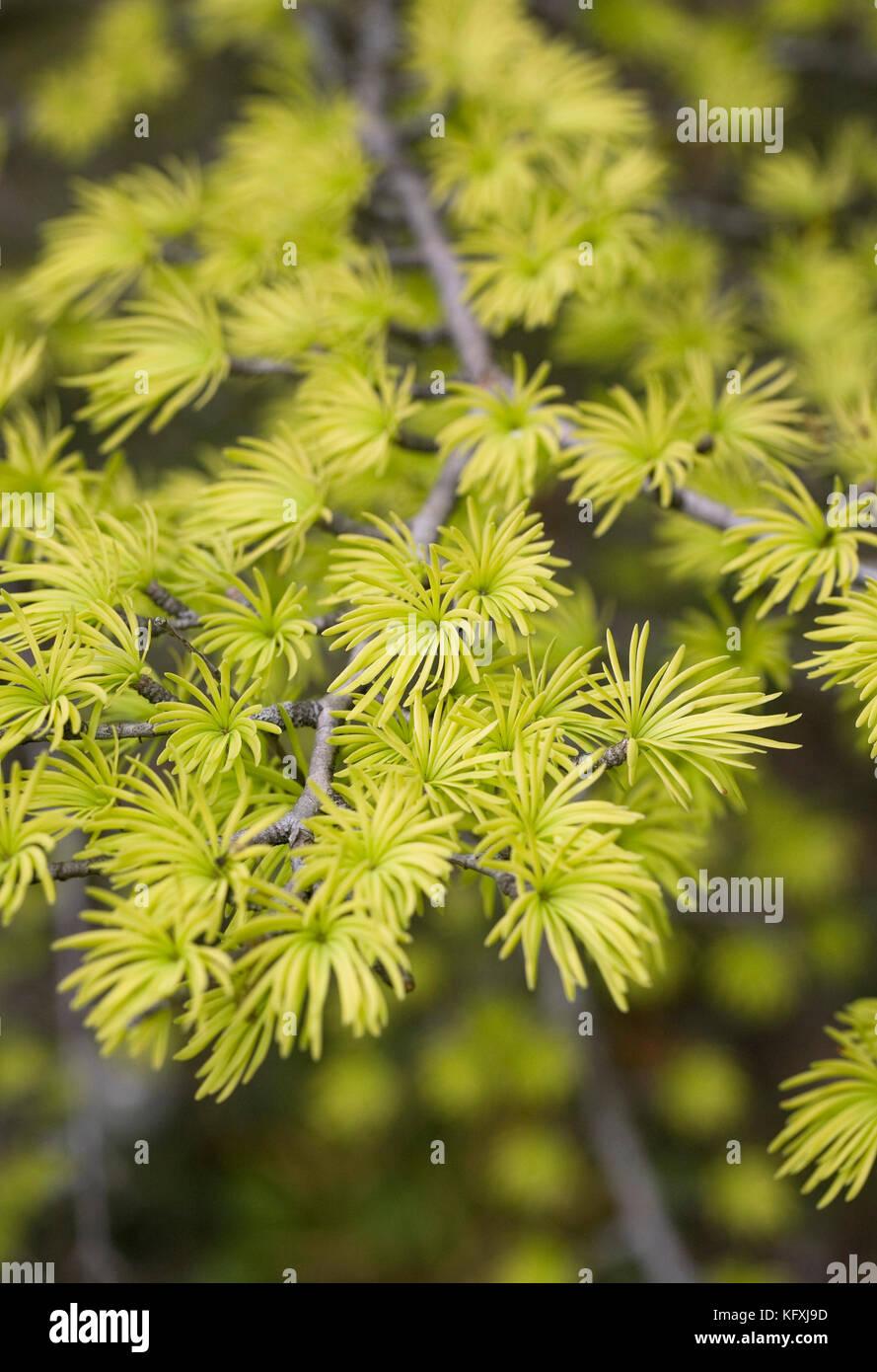 Pseudolarix amabilis branches in Spring. - Stock Image