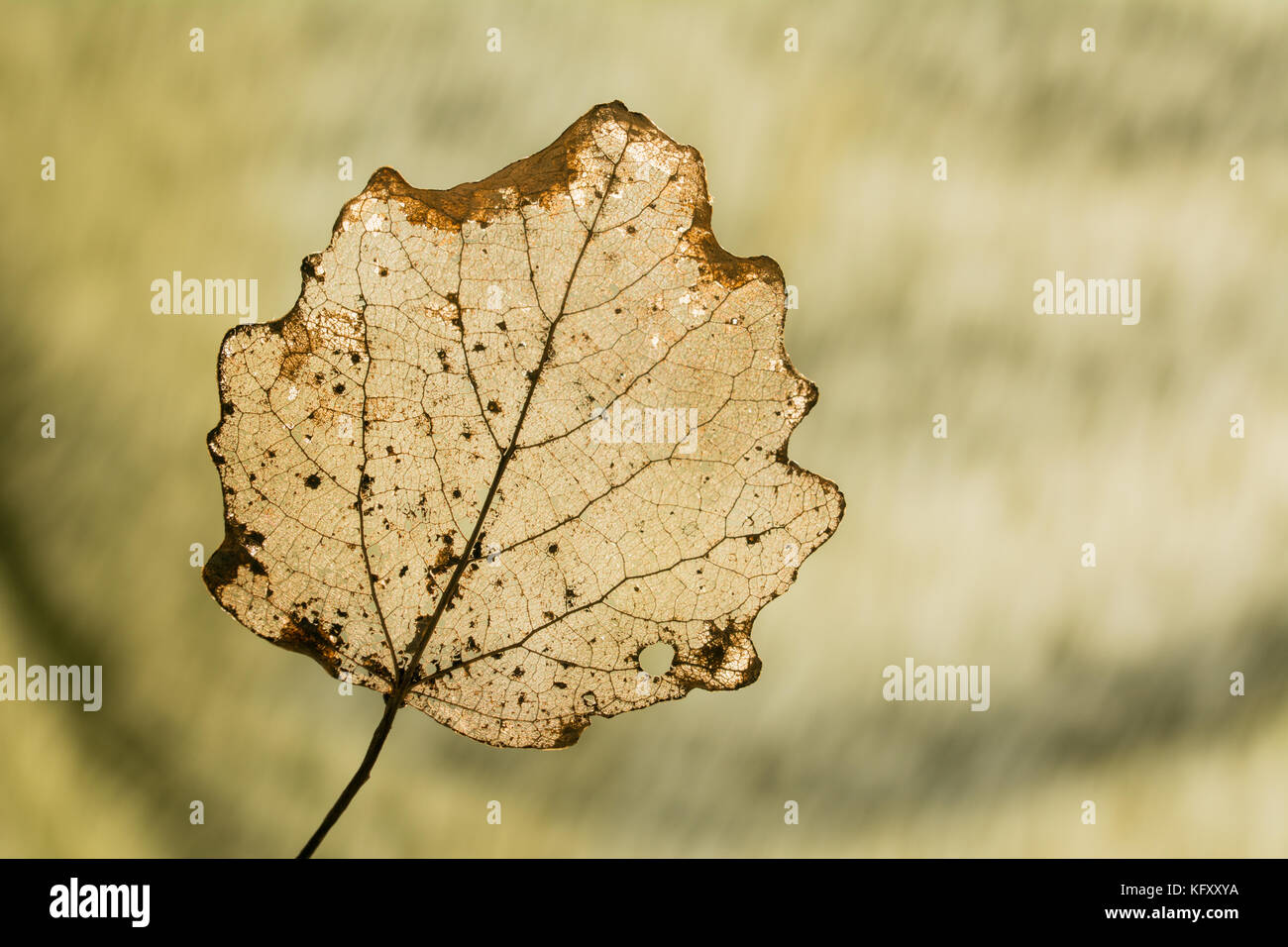 Veins of a leaf partially decomposed during winter - silhouette on greenish  background Stock Photo