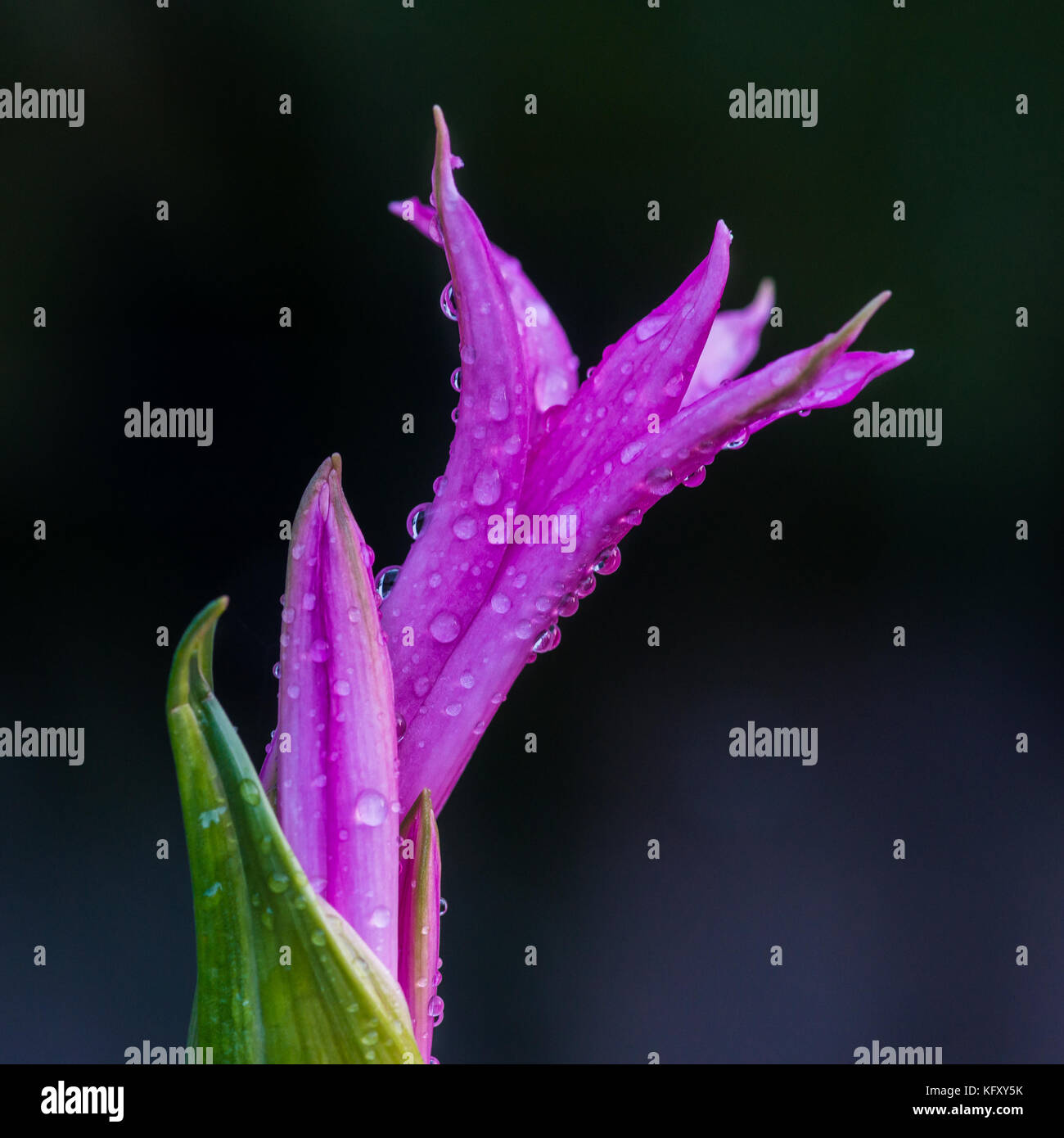 A macro shot of a pink nerine bowdenii bloom opening up. - Stock Image
