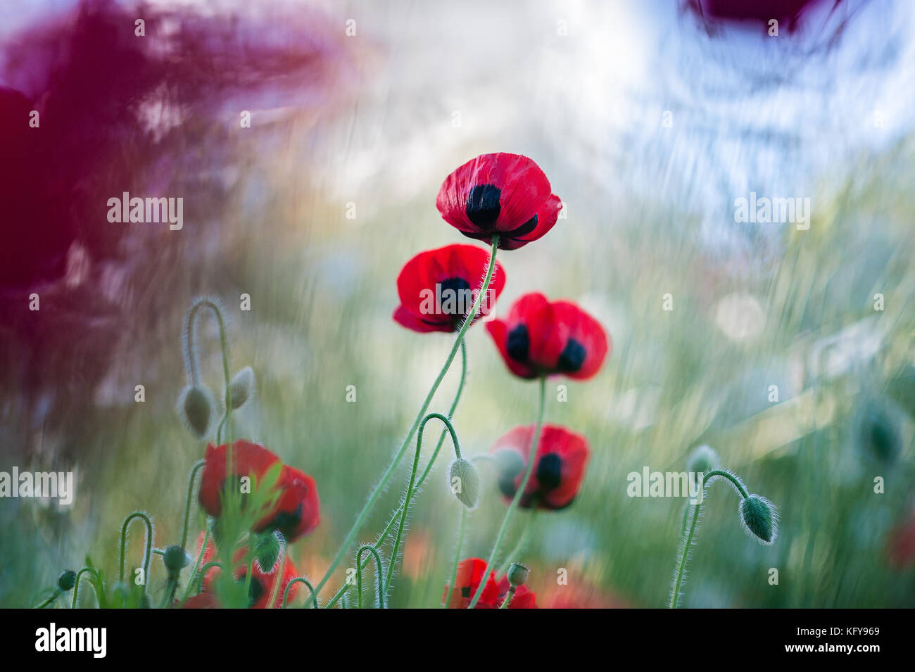 Beautiful red Ladybird Poppies photographed in the Central Garden of the Getty in Los Angeles, CA. Stock Photo