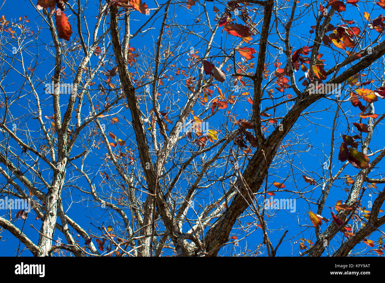 Leaves falling from tree in autumn - Stock Image