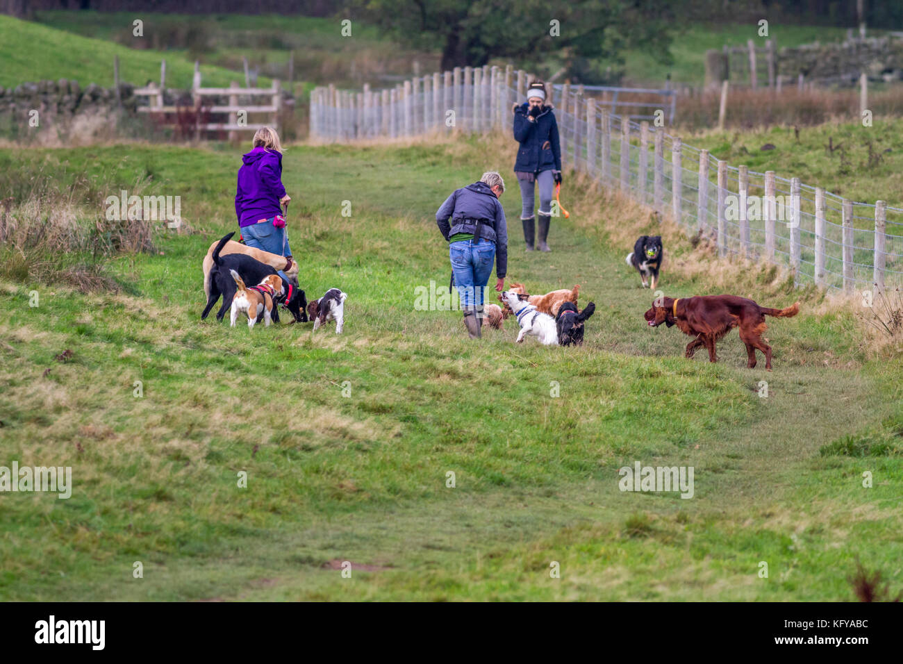 Dog walkers with a big pack of dogs in a field with another woman and collie approaching, UK - Stock Image