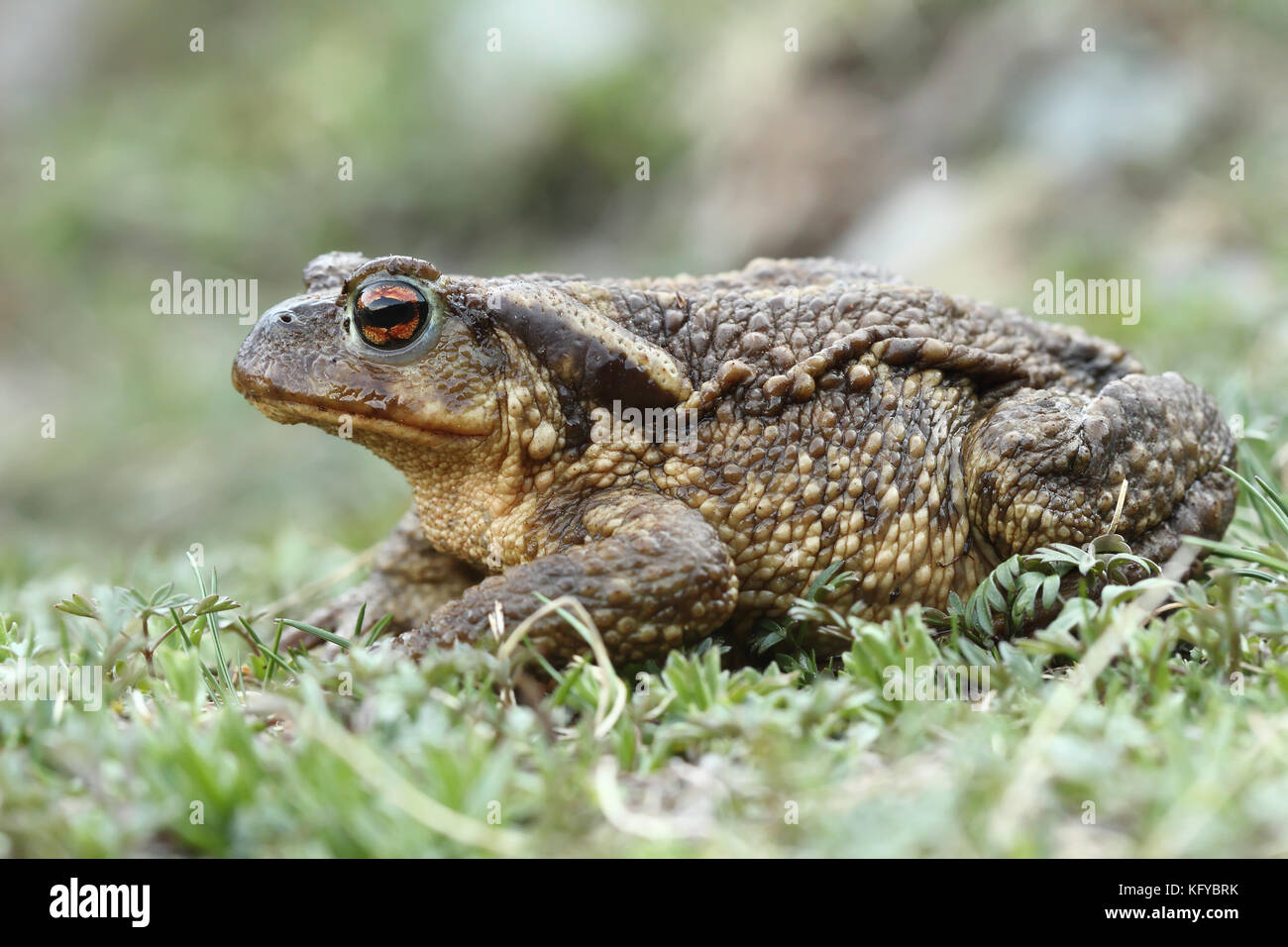 Common Toad (Bufo spinosus) Stock Photo