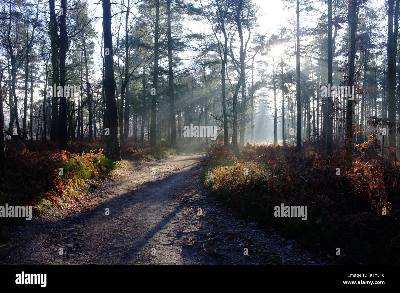 The rays of the morning sun shine through a misty forest in Surrey. - Stock Image