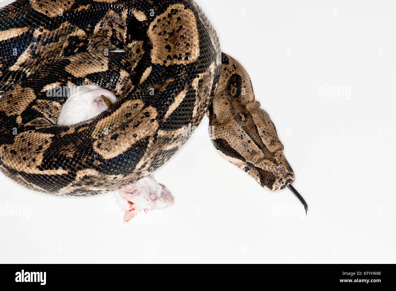 St. Paul, Minnesota. Personal pet. Columbian Red-tailed Boa, also called the common boa, from the family Boidae. - Stock Image