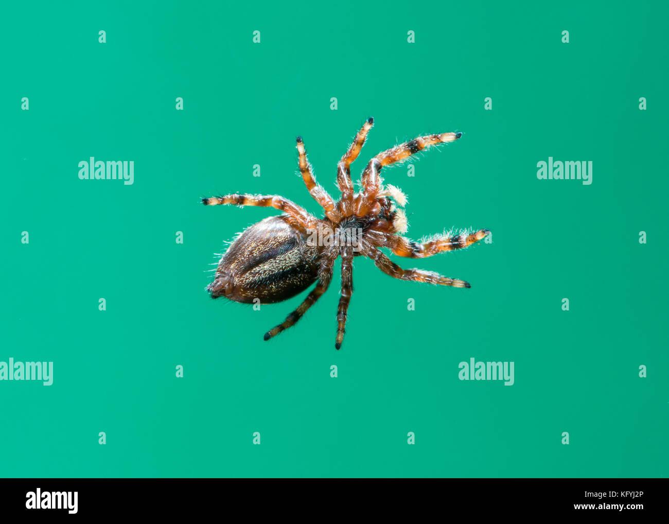 Kansas City, Kansas.  Bottom view of Brilliant Jumper spider; Phidippus clarus. - Stock Image