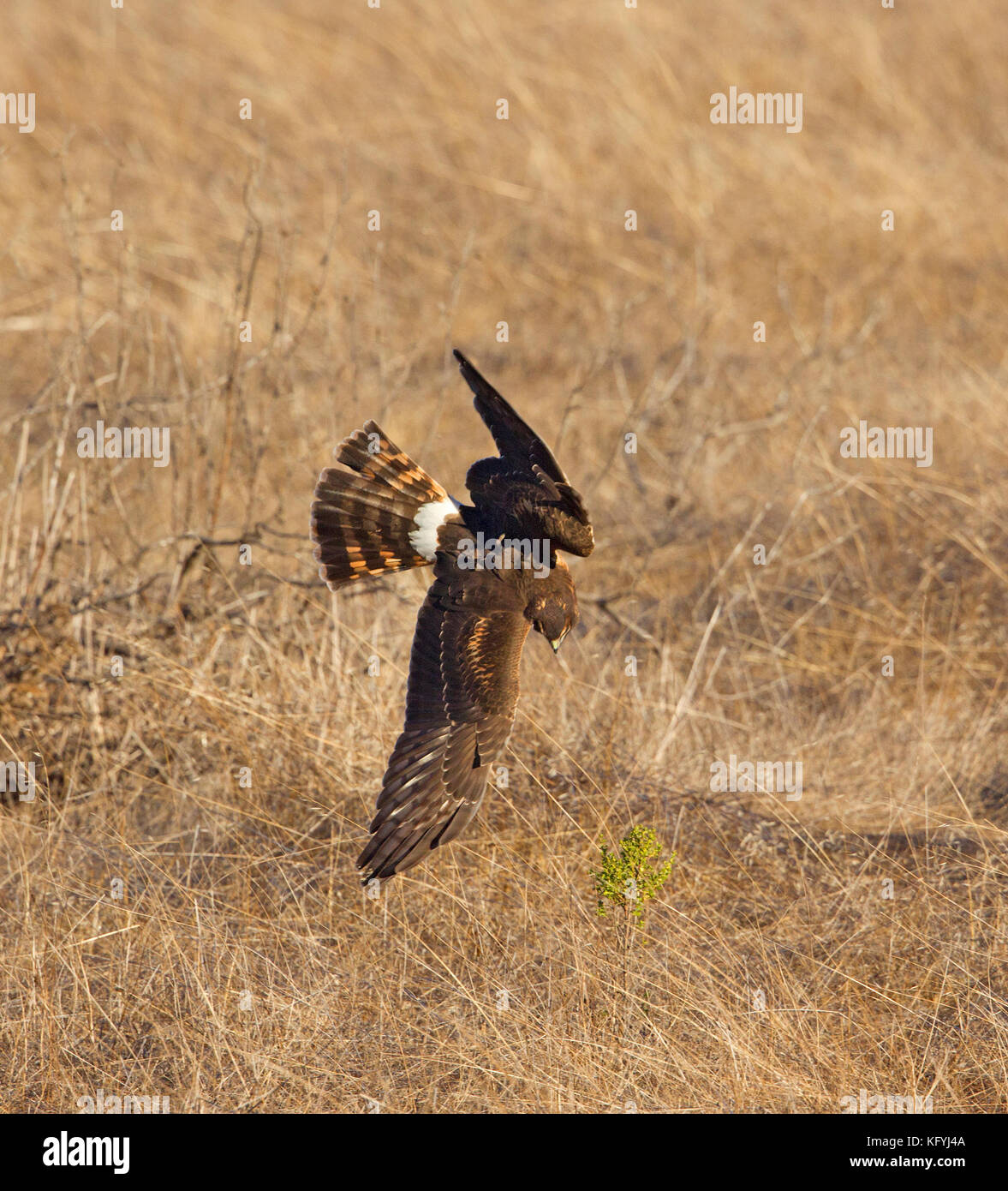 Northern Harrier in a Dive - Stock Image