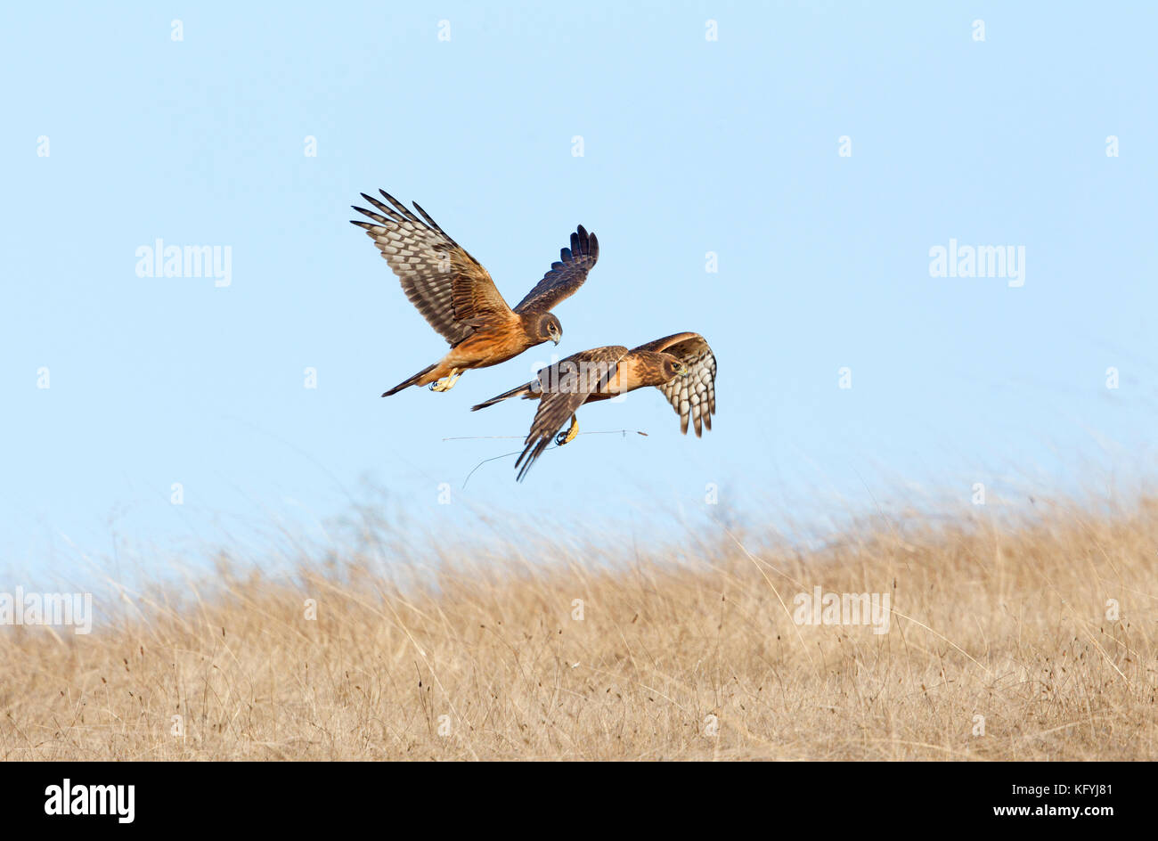 Two Northern Harriers in Flight Stock Photo