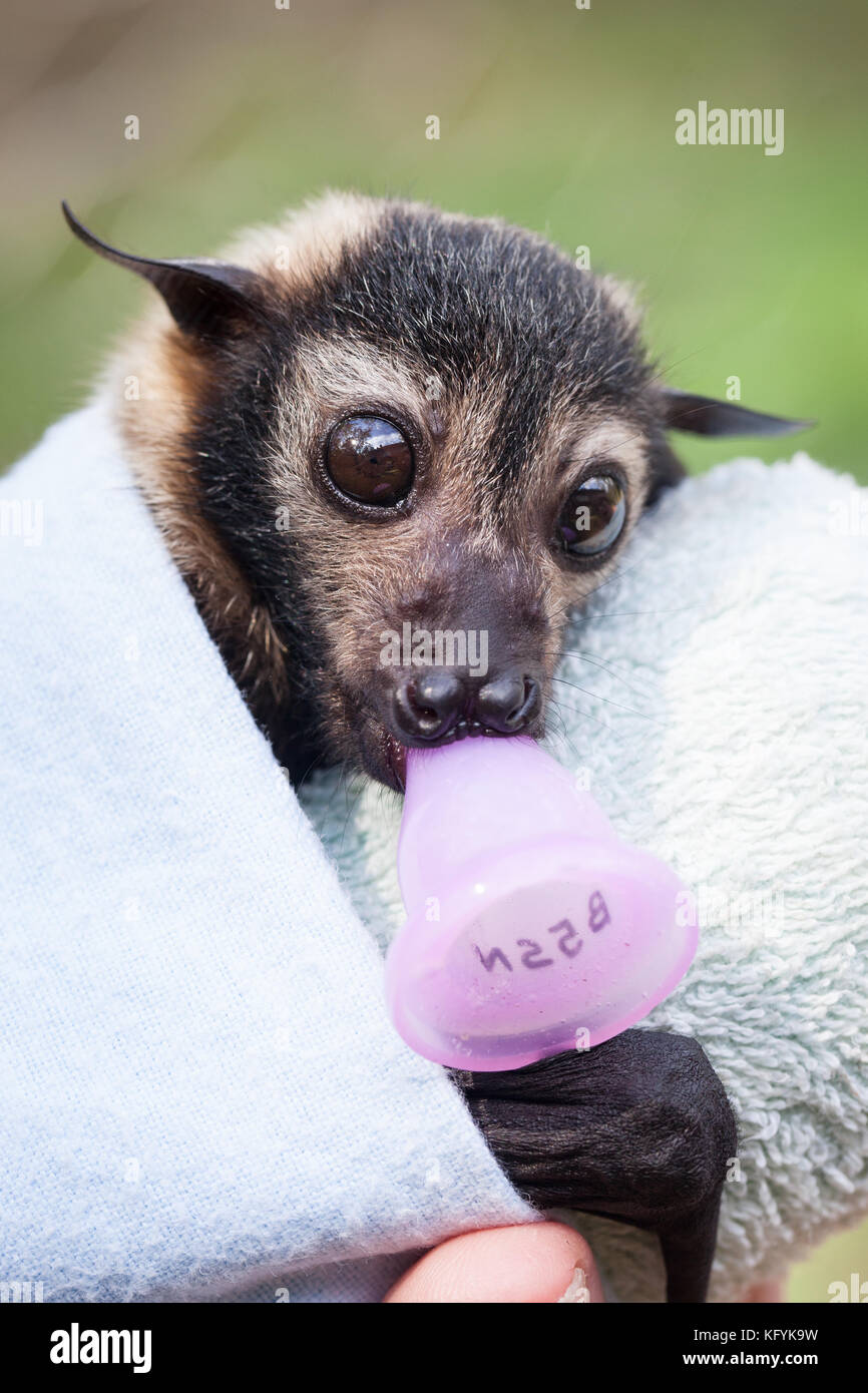 Spectacled Flying-fox (Pteropus conspicillatus). Orphaned male in care: approx. 7weeks old. Port Douglas. Queensland. - Stock Image