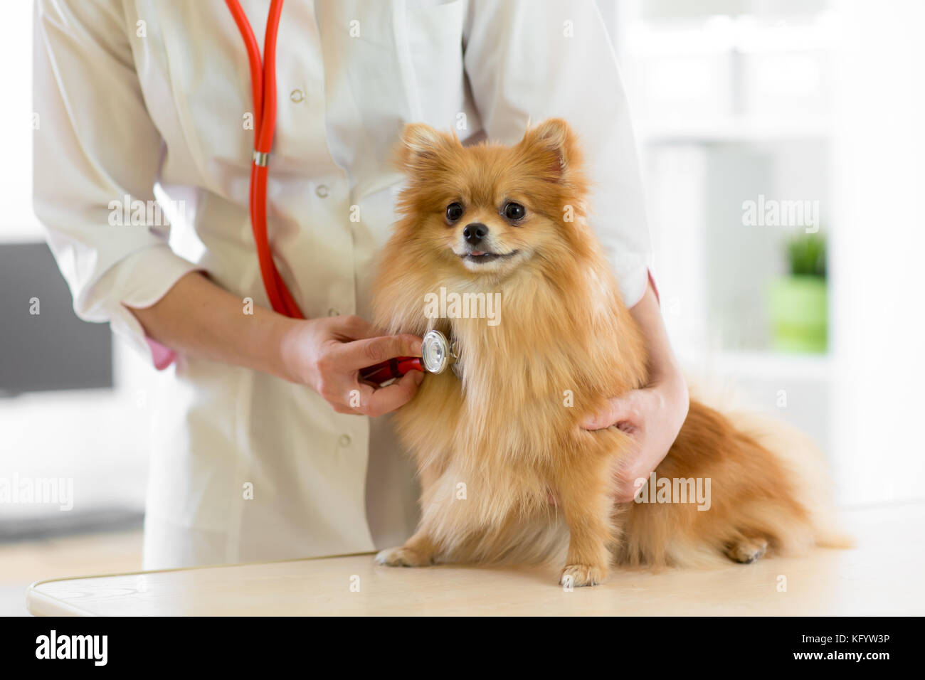 Veterinarian doctor using stethoscope during examination in veterinary clinic. Dog pomeranian Spitz in veterinary Stock Photo