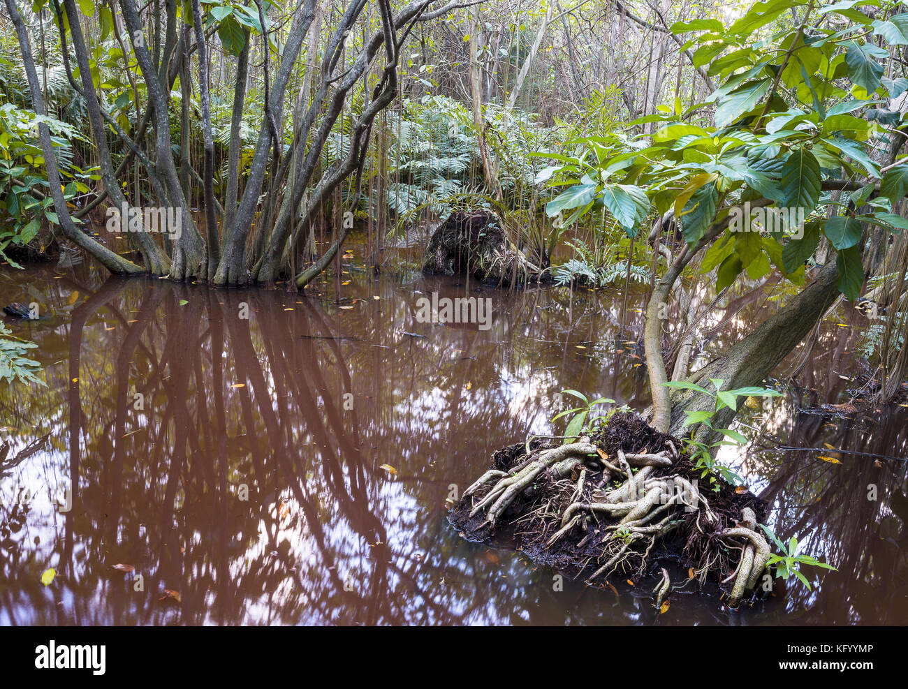 The bog in the primeval forest with rees and plants - Stock Image