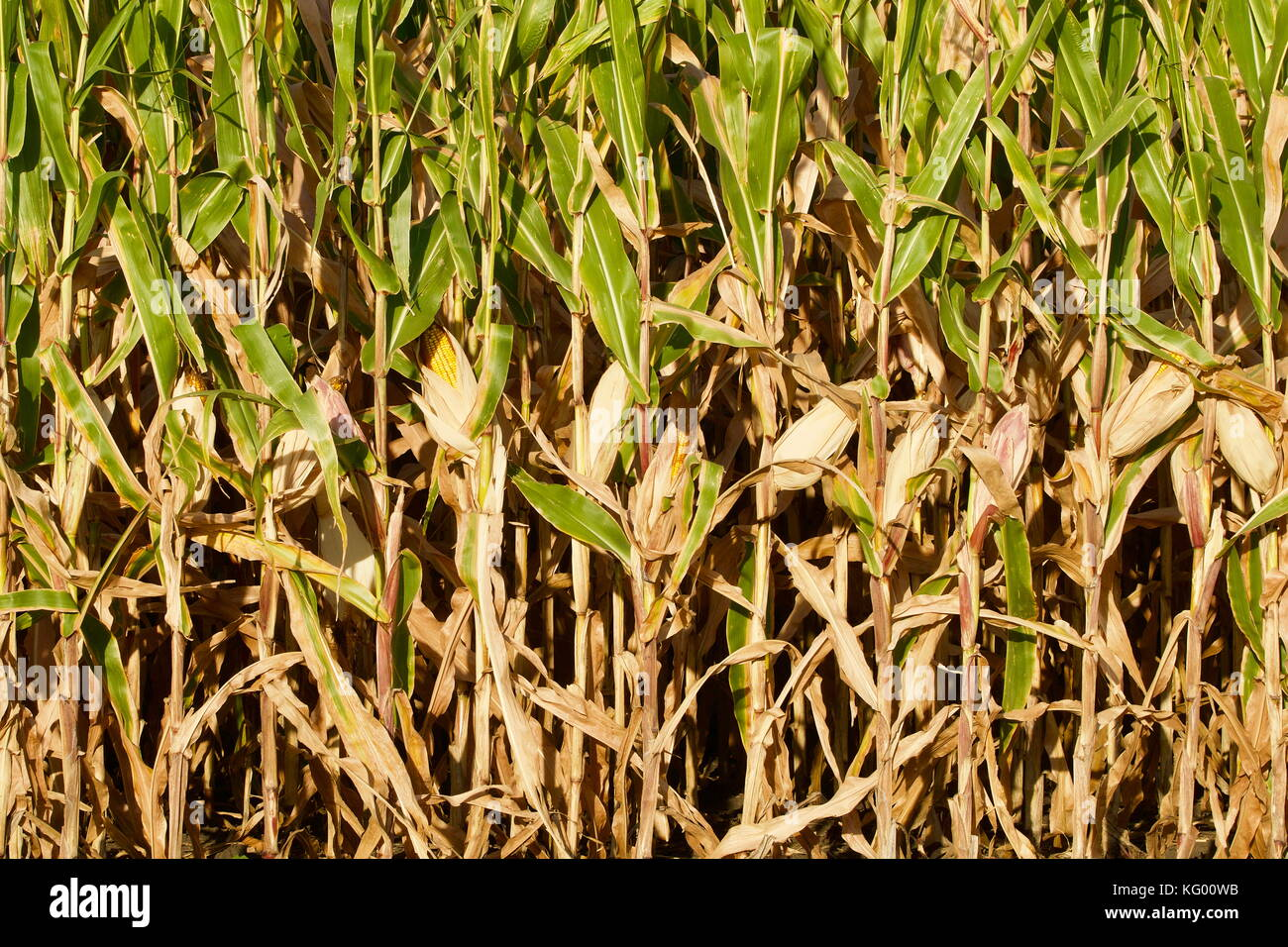 Field corn closeup with yellow ears of corn - Stock Image
