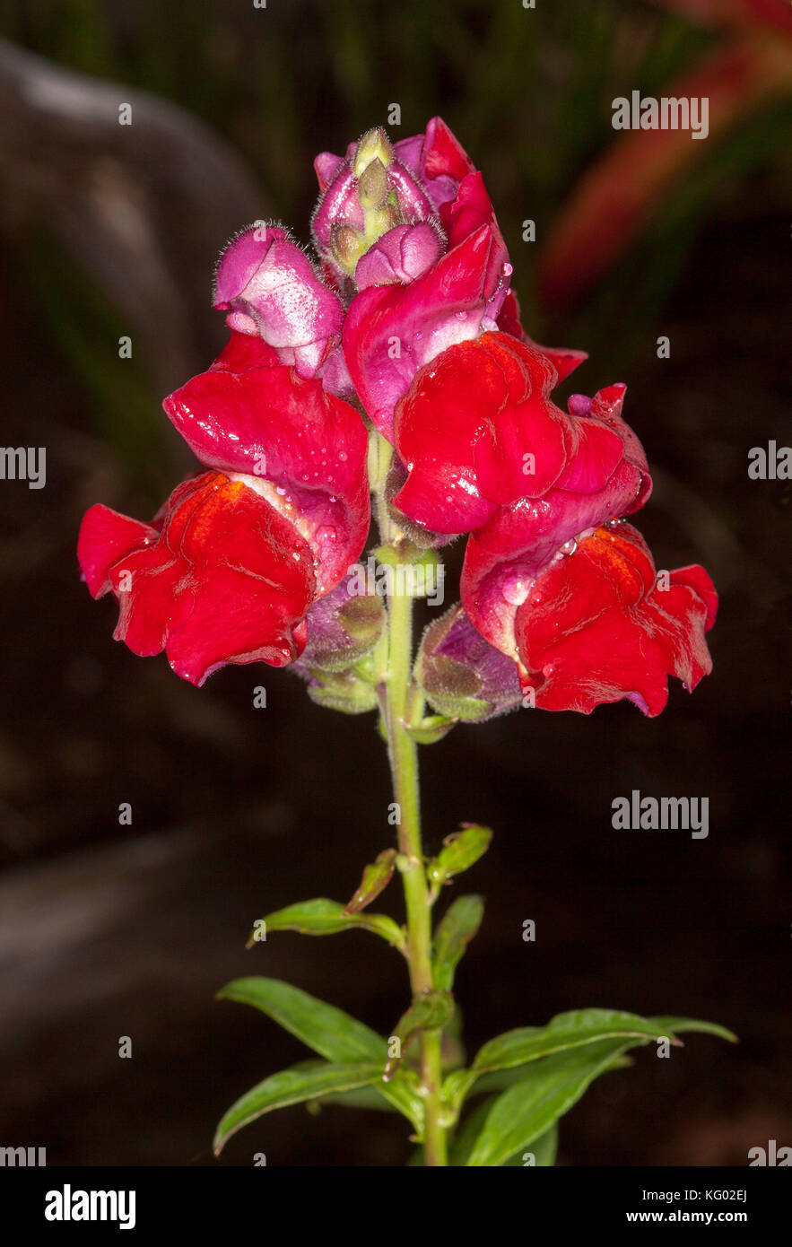Bright red flowers of annual snapdragon antirrhinum majus on dark bright red flowers of annual snapdragon antirrhinum majus on dark background izmirmasajfo