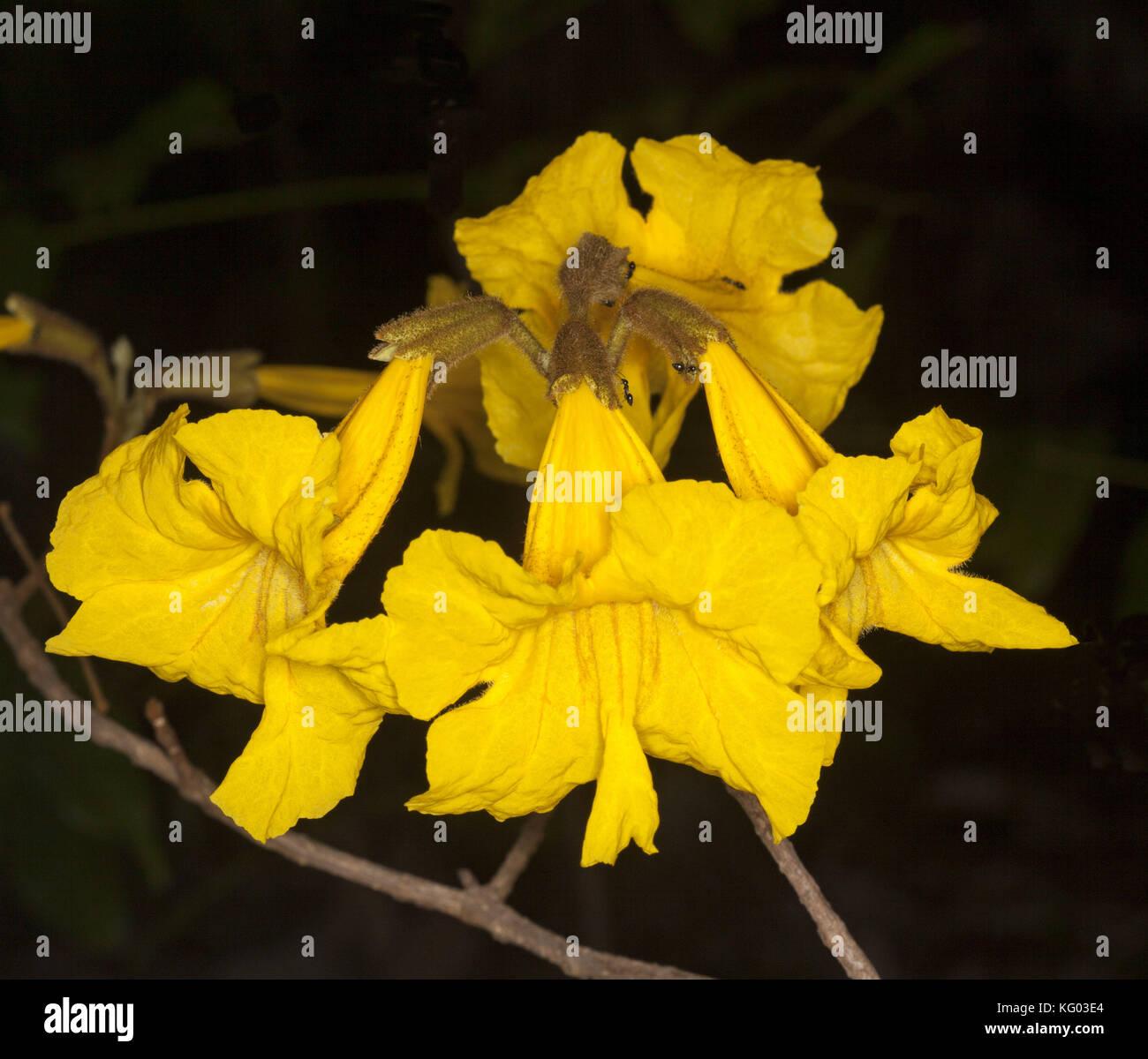 Cluster of golden yellow flowers of tabebuia chrysotricha trumpet cluster of golden yellow flowers of tabebuia chrysotricha trumpet tree on dark background in australian garden mightylinksfo